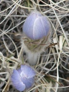 pasqueflower (Pulsatilla patens)